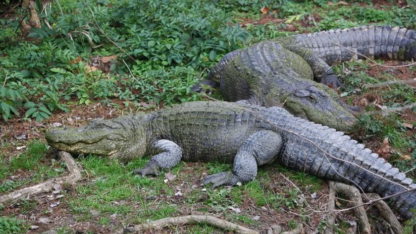Brutus vs Dominator: turistas presencian el brutal combate de dos enormes cocodrilos en Australia