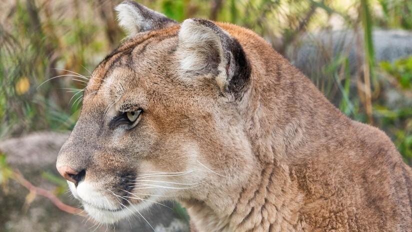 VIDEO: Pumas y linces en Florida tropiezan y caminan de manera extraña (y nadie entiende por qué)