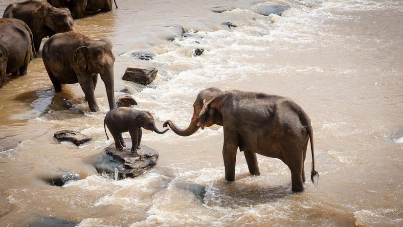 VIDEO: Rescatan a cinco elefantes que estuvieron atrapados en un pozo de fango