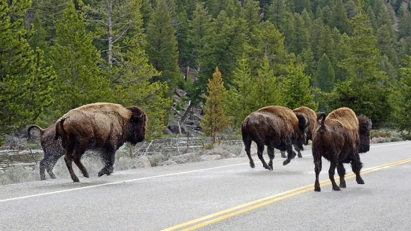 VIDEO: Una manada de bisontes invade una carretera y embiste un coche con una familia dentro