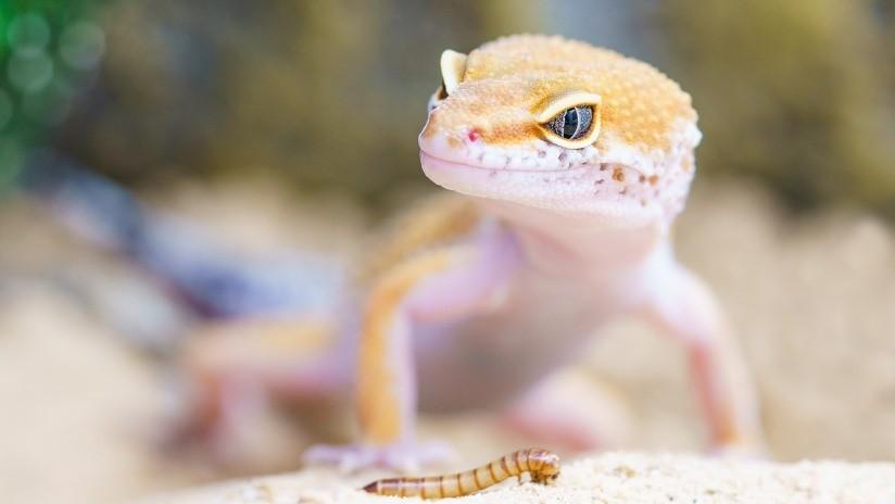 FOTO: Crean al primer lagarto mutante genéticamente modificado
