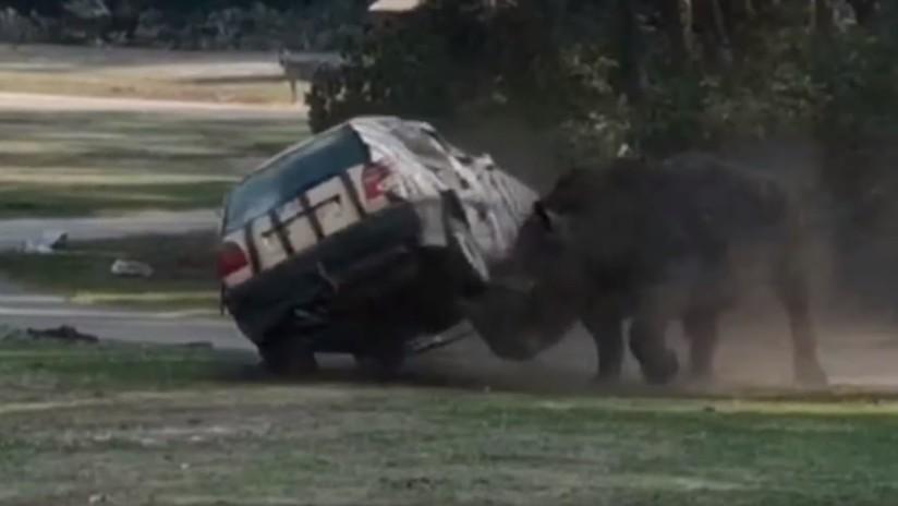 VIDEO: Un rinoceronte ataca furiosamente el auto de una cuidadora en un parque