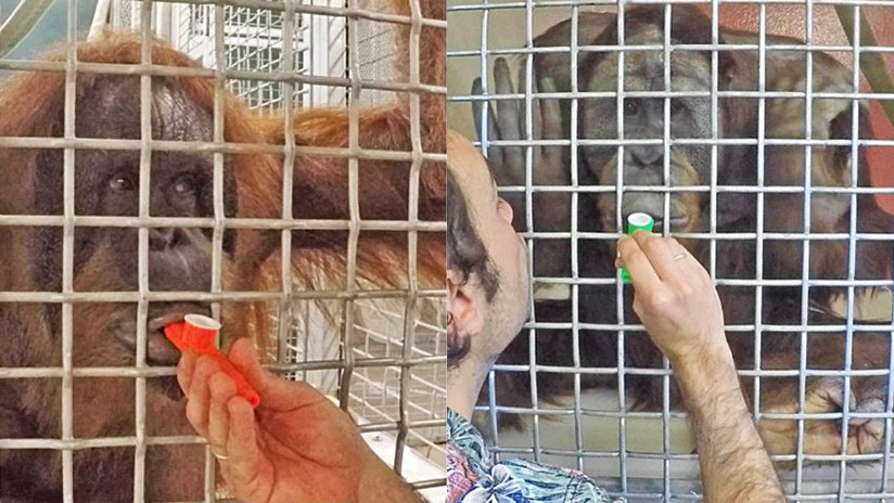 Las capacidades de los orangutanes dan pistas de la evolución del habla humana