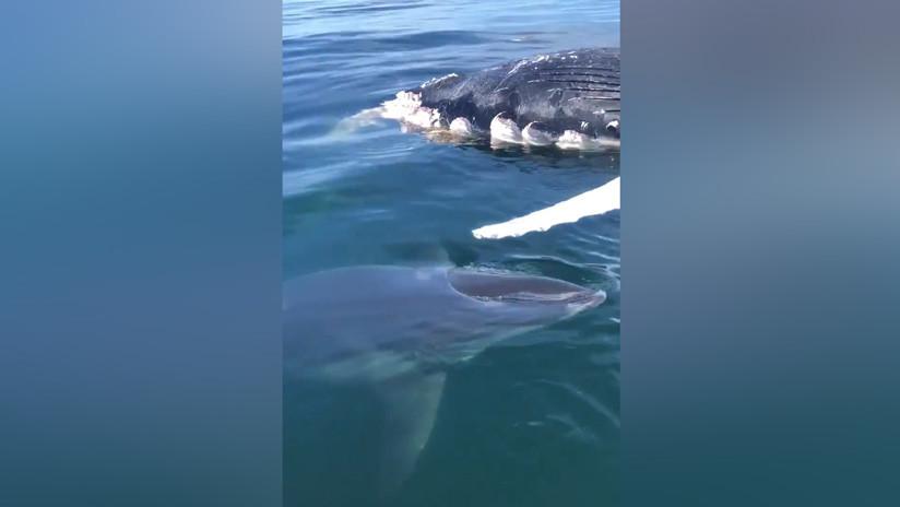 VIDEO: Un tiburón acecha el cadáver de una ballena frente a la sorpresa de pescadores