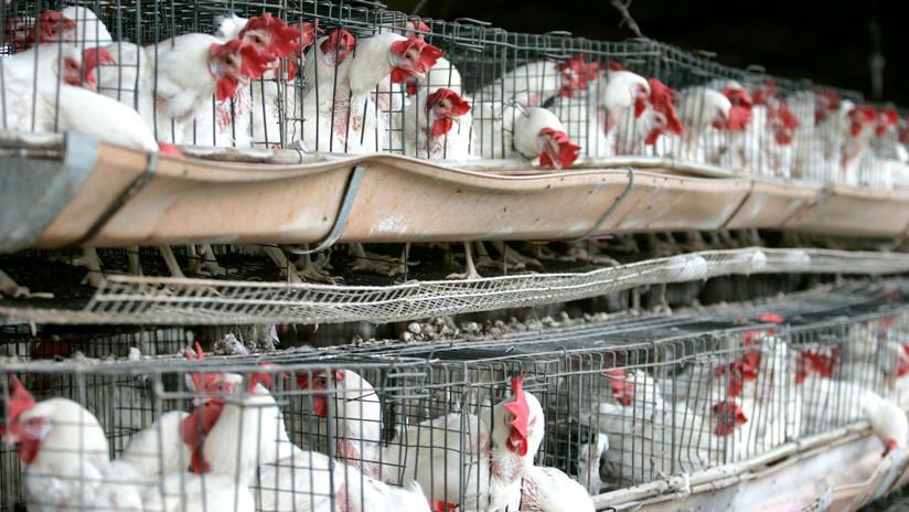 VIDEO: Turista británica pierde los estribos al ver pollos de corral enjaulados en un mercado de Marruecos