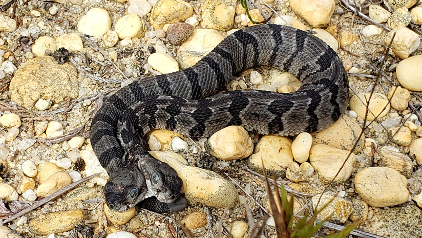 Dos lenguas, cuatro ojos y un solo cuerpo: Hallan una rara serpiente cascabel bicéfala en EE.UU.
