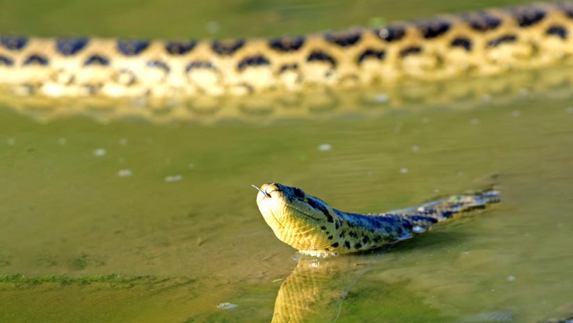 FOTOS: Una anaconda y un caimán pelean a vida o muerte en la Amazonia