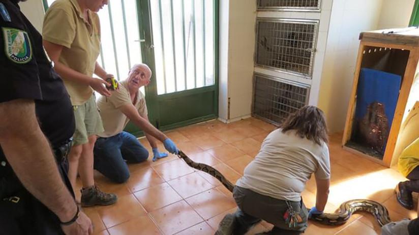 Capturan una pitón de más de tres metros en España