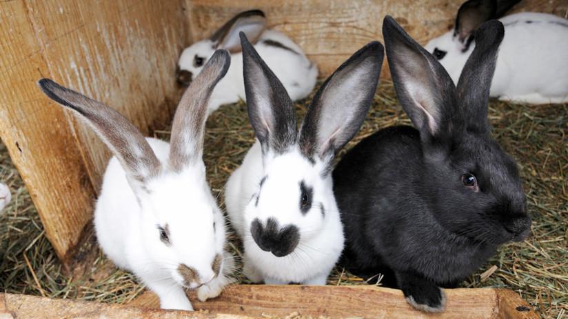Culpan a los activistas veganos que rescataron a conejos de una granja por la muerte de 90 crías