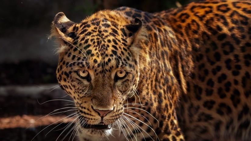FOTOS: Un jaguar vence a un caimán tras una intensa lucha hasta la muerte