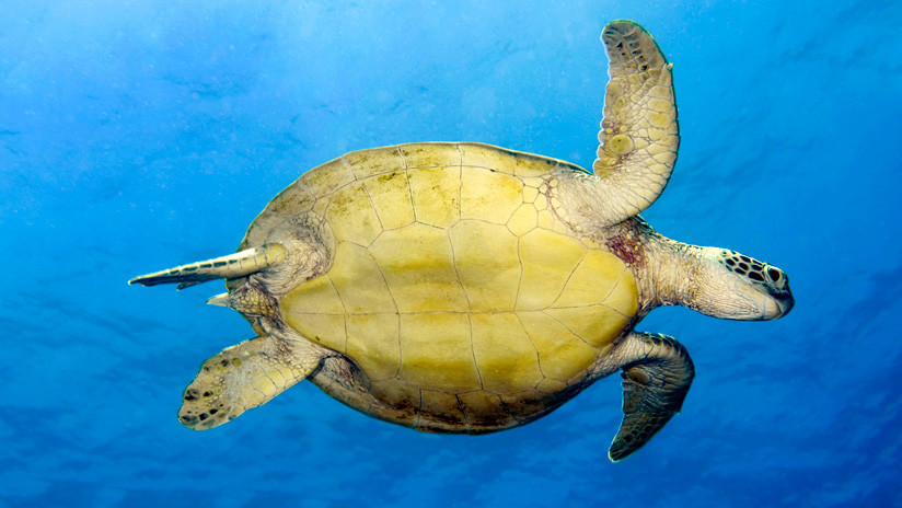 VIDEO: Una tortuga marina atravesada por una lanza lucha por su vida