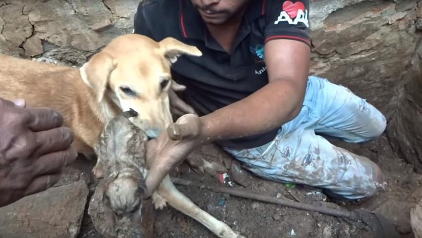 Así salva esta perra callejera a sus cachorros sepultados bajo los escombros