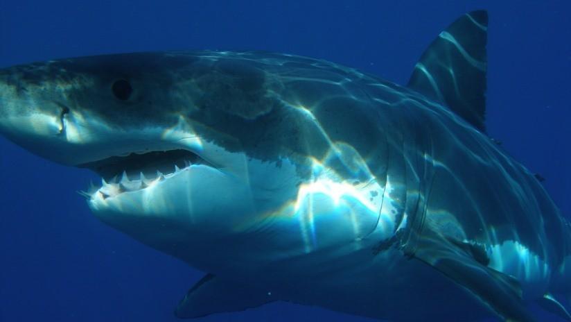 VIDEO: Un tiburón blanco ataca a una foca frente a turistas horrorizados