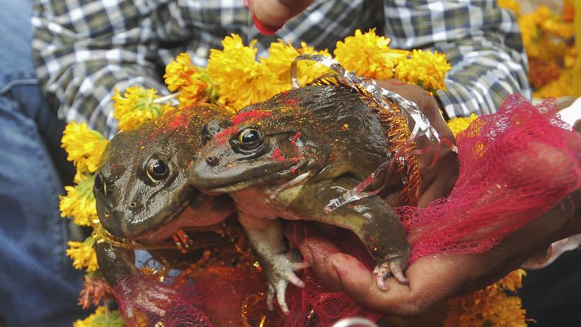 Divorcian a dos ranas que casaron hace dos meses para acabar con las fuertes precipitaciones