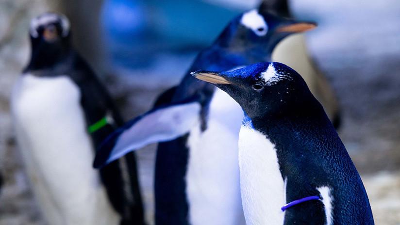 Una pareja de hembras de pingüino crían por primera vez a un polluelo 'sin género'