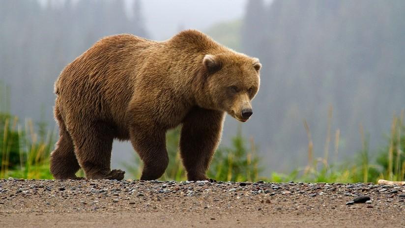 Reportan un aumento en el número de ataques de osos a humanos en todo el mundo