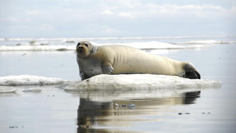 Alarma en las costas de Alaska por la muerte de casi 300 focas en menos de un año