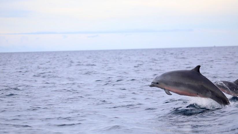 Descubren que los delfines cada vez son más resistentes a los antibióticos por culpa de los humanos