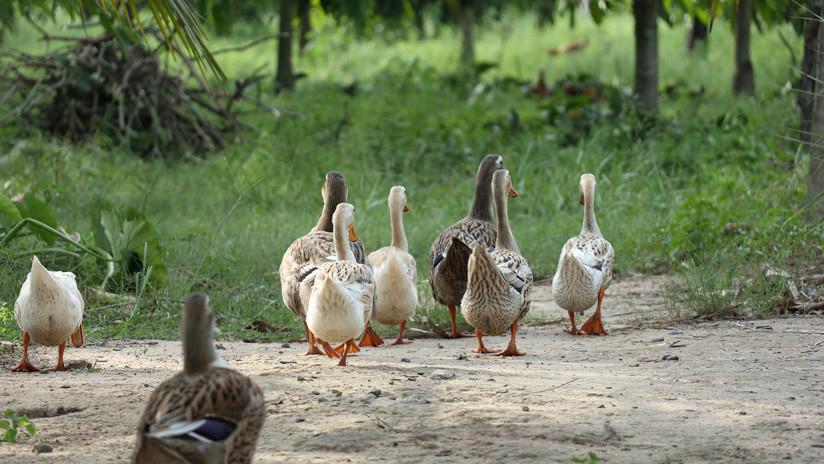 VIDEO: La extraña 'risa humana' de un pato desconcierta a los internautas