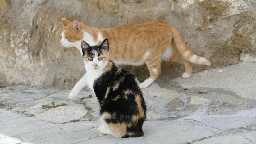 VIDEO: El duelo de una cobra rodeada por cuatro gatos se hace viral en la Red