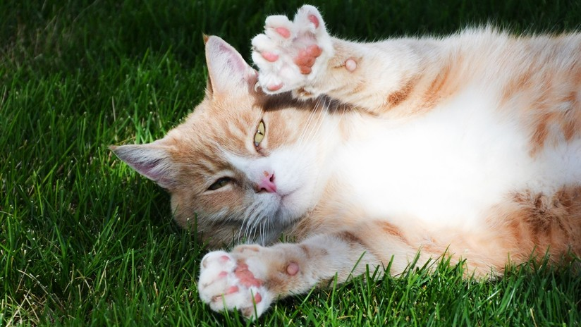 ¡Quien la sigue, la consigue! Un gato se hace el dormido para robar una cena ajena (VIDEO)
