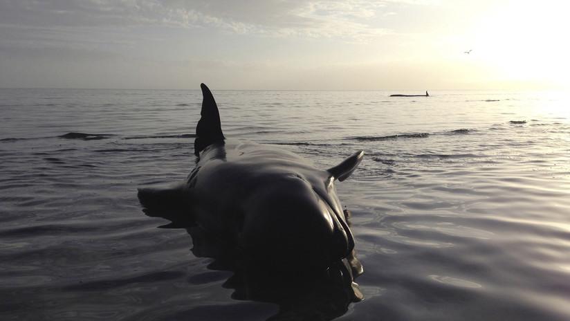 VIDEO: Manada de delfines se agrupa para darse apoyo antes de ser matados por cazadores
