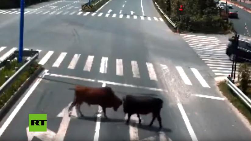 VIDEO: Una pelea de toros en medio de una autopista paraliza el tránsito en China