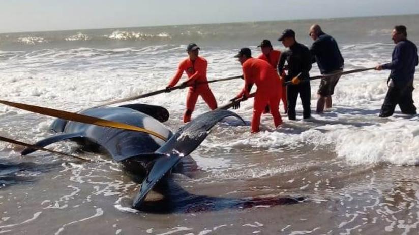 Un operativo de rescate marítimo salva a seis orcas en Argentina