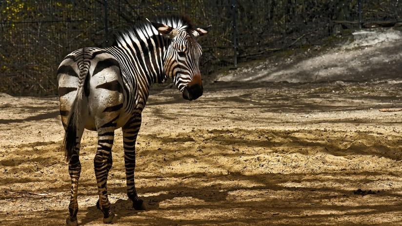 VIDEO, FOTOS: Avistan en África una cebra con puntos en lugar de rayas
