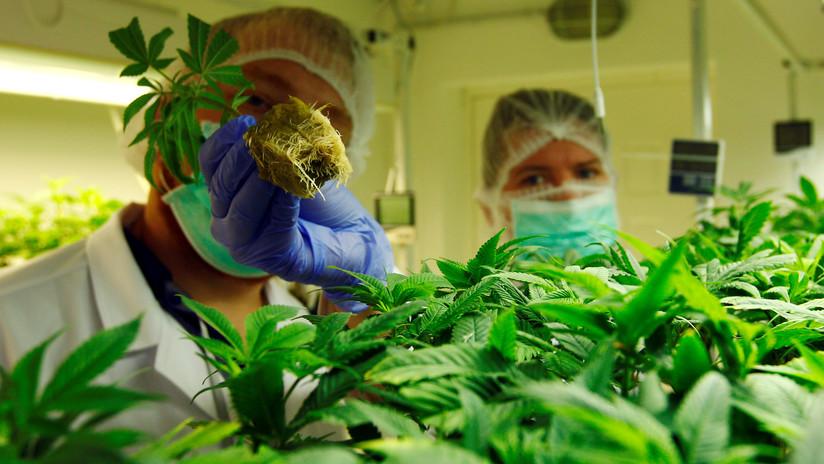 La Asamblea Nacional de Ecuador aprueba el uso medicinal del cannabis