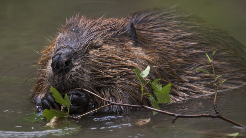 VIDEO: Graban un tempestuoso 'sparring' de dos castores en un río de Escocia