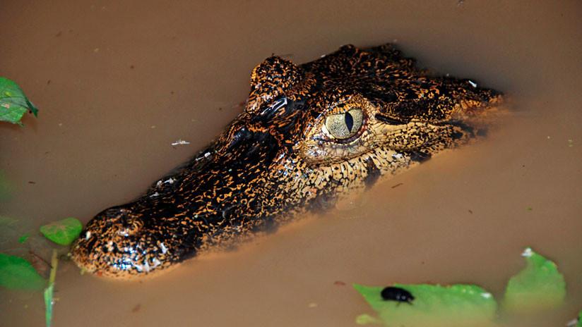 VIDEO: Un caimán 'desafía' a una anaconda en un duelo de vida o muerte