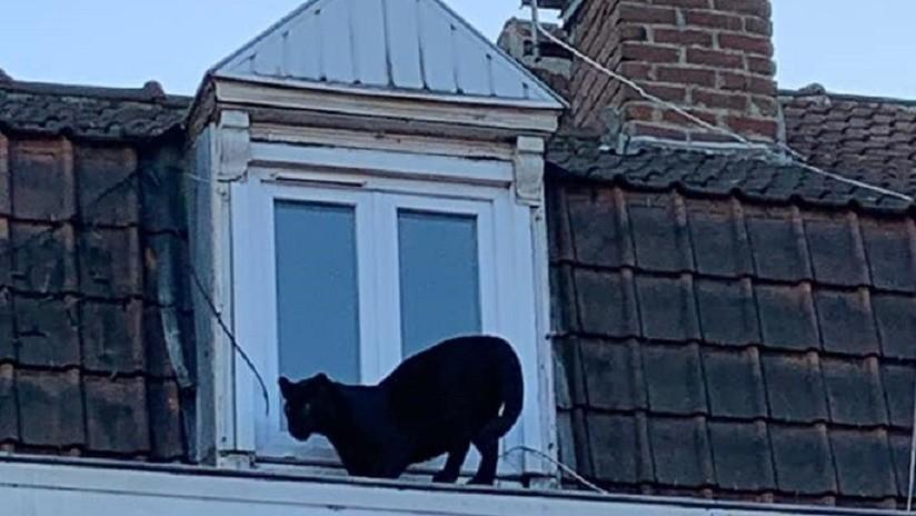 VIDEO: Una pantera negra deambula por los tejados de un pueblo francés cual gato callejero