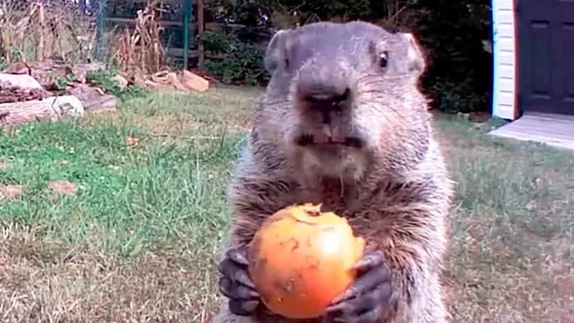 VIDEOS: Una marmota roba hortalizas en un huerto y el dueño de la plantación la convierte en una estrella de Instagram