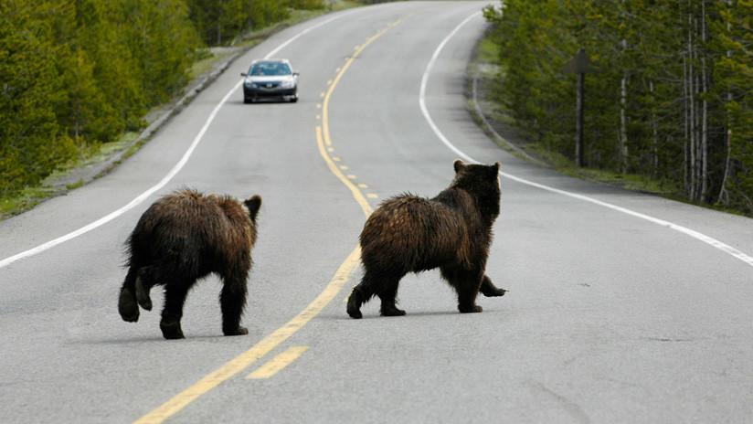 VIDEO: Filman una pelea entre dos osos 'grizzly' en una carretera de Canadá