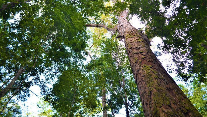 Anomalía en el Amazonas: los árboles más altos crecen un 50 por ciento más y nadie sabe por qué