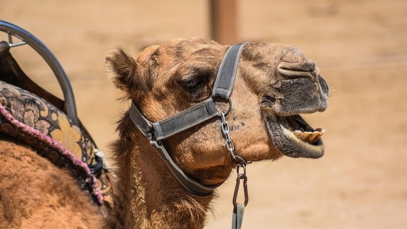 Una mujer le muerde los testículos a un camello para salvar su vida en un extraño enfrentamiento en EE.UU.