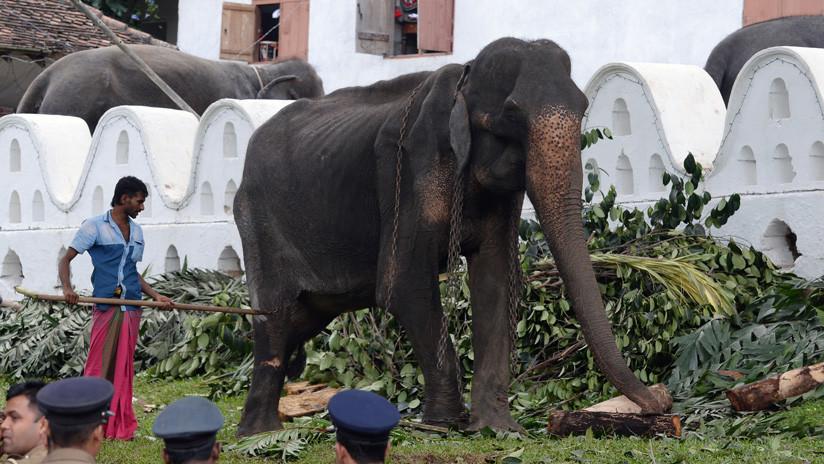 FOTOS: Muere Tikiri, la desnutrida elefanta de 70 años que fue víctima de grave maltrato animal y causó polémica en Sri Lanka