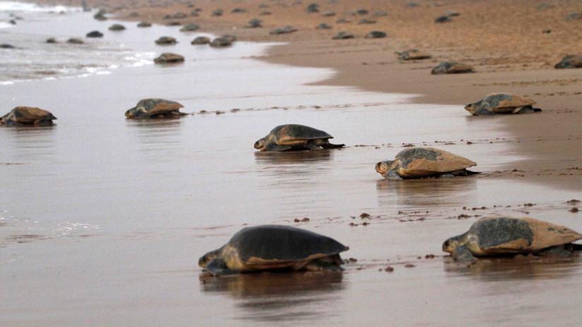 VIDEO: Tortugas marinas agonizantes y cubiertas de petróleo aparecen en varias playas del noreste de Brasil