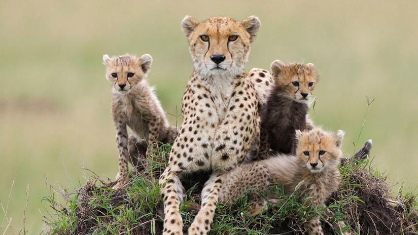 Los guepardos, en peligro de extinción por su contrabando y venta en países árabes