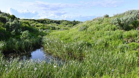 Una arroyada en el paralelo 70 norte con las amapolas polares