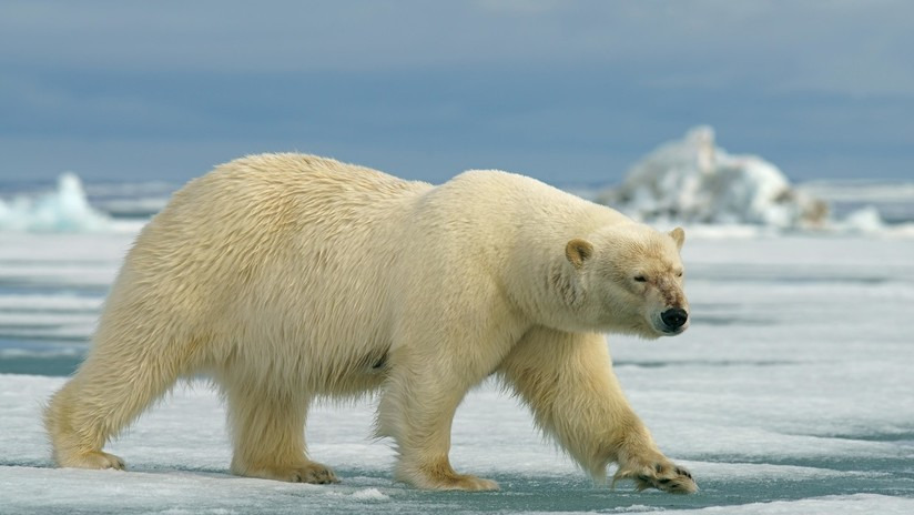 VIDEO, FOTOS: Un oso polar hambriento obliga a exploradores rusos a resguardarse en un avión soviético