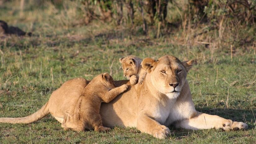 VIDEO: Una leona se lleva un susto al ser 'atacada' por su cachorro