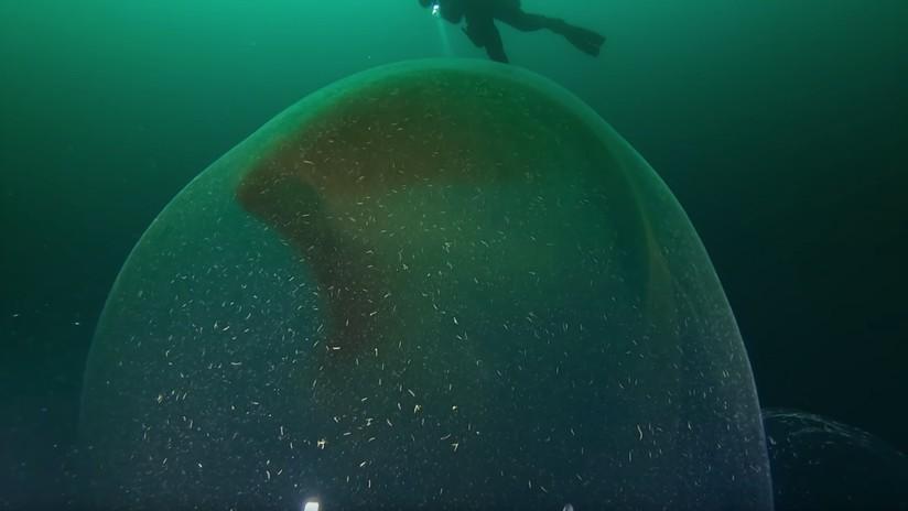VIDEO: Captan una enorme bolsa gelatinosa con una gran cantidad de huevos de calamar de diez tentáculos
