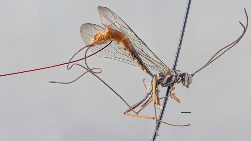 FOTOS: Científico descubre una especie de avispa parásita y la bautiza con el nombre de su mujer