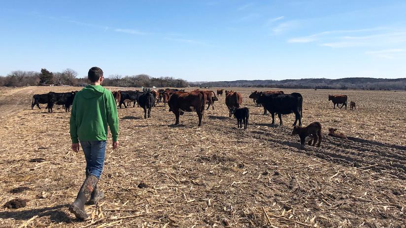 Encuentran varios toros mutilados y desangrados en un rancho de EE.UU. y ningún rastro de ataque (FOTOS)