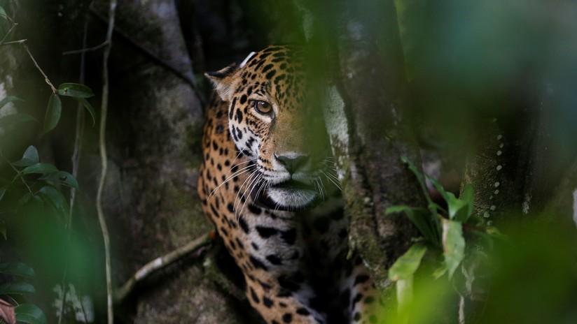 """""""Angustiantes"""" imágenes de un jaguar jugando con una botella de plástico en Brasil"""