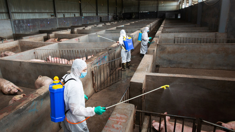 Francotiradores de Corea del Sur exterminarán en su frontera norte cerdos infectados con peste porcina africana
