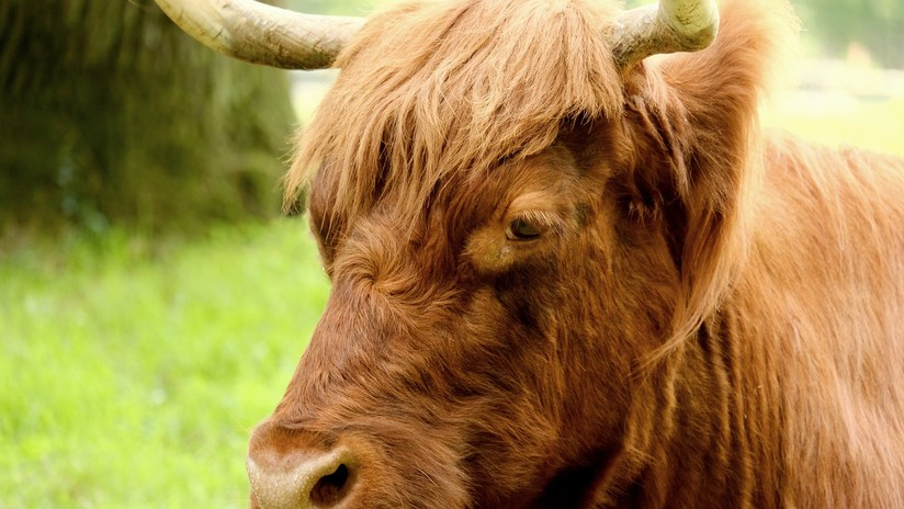 VIDEO: Un furioso toro irrumpe en un partido de fútbol y embiste contra los espectadores