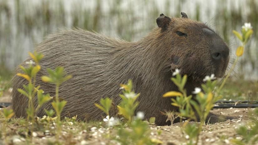 Multan con unos 160.000 euros a la aerolínea Iberia por la muerte de varios capibaras en la bodega de un avión